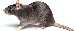 Rattenoverlast in De Heeg weldra voorbij