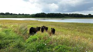 Eerste Galloway-runderen begrazen nieuw natuurgebied Itteren